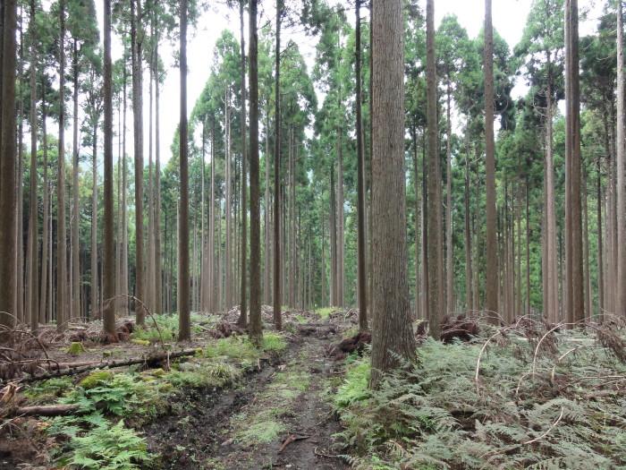 綺麗に間伐された森