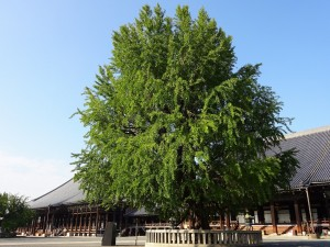 西本願寺・銀杏1
