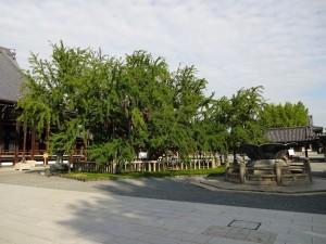 西本願寺・銀杏2